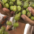 Plantemos un olivo